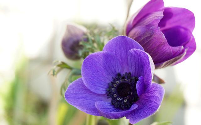 紫色のアネモネの花