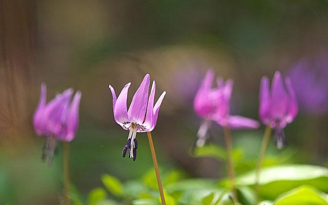 カタクリ(片栗)の花