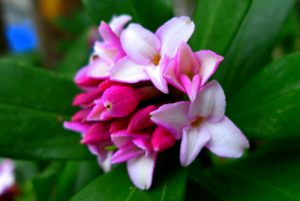 沈丁花の花アップ