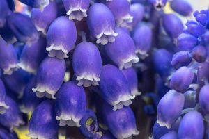 紫のムスカリ
