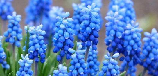 ブルーのムスカリ